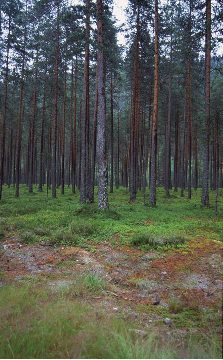 A forrest with tall trees.