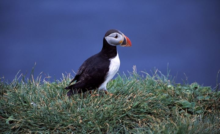 Puffin on grass with ocean in the background, Iceland