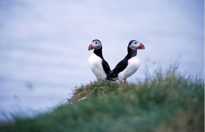Two puffins perching back to back, Iceland
