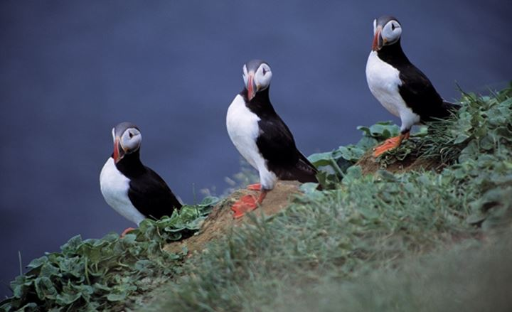 Three puffins in a row perching on a rock