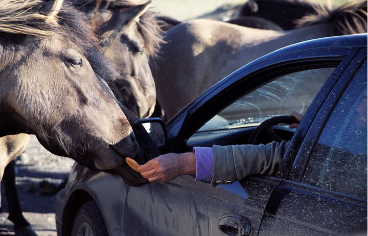 A person feeding Icelandic horses with biscuits, reaching out of a car