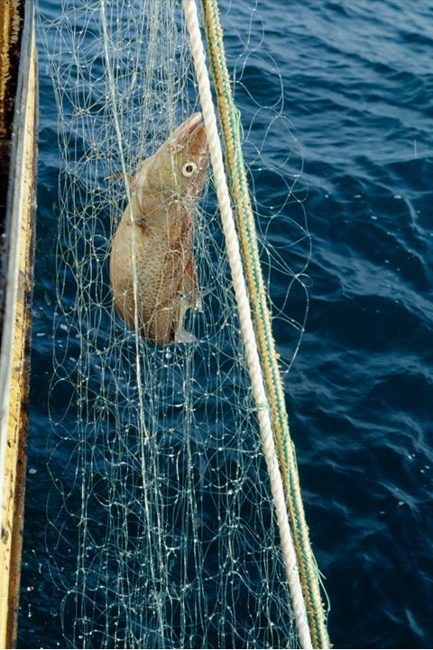 A fish in a net being heaved onboard