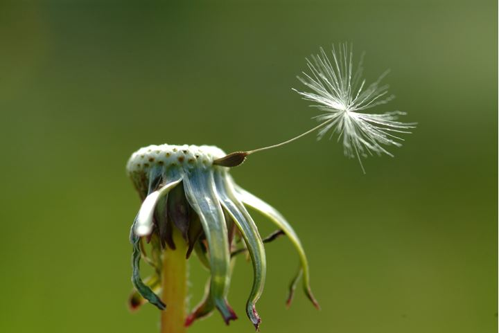 One lone seed left on a dandelion
