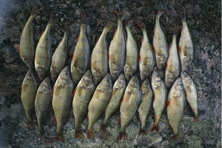 Caught fish lined-up on the ground