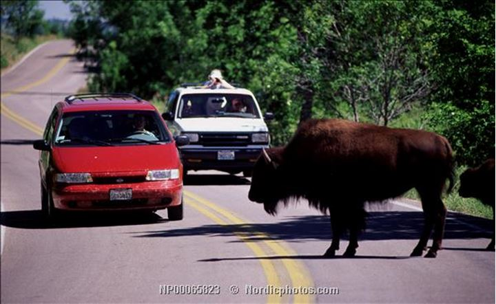 A buffalo on the road