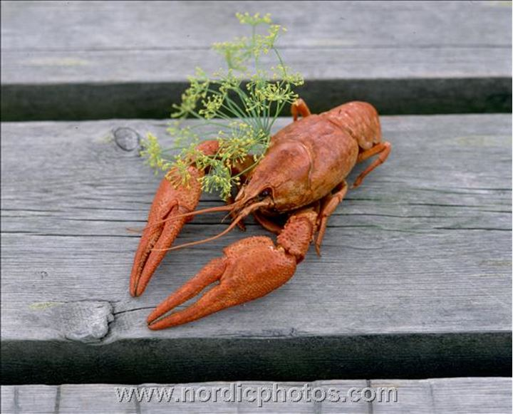 A lobster and some fresh dill