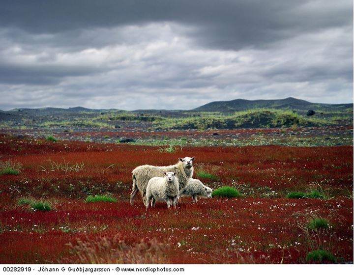 Sheep and its two young ones grazing in a field, Iceland