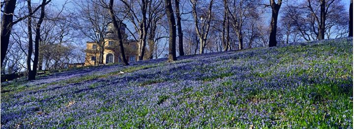 A carpet of violet flowers on a hillside