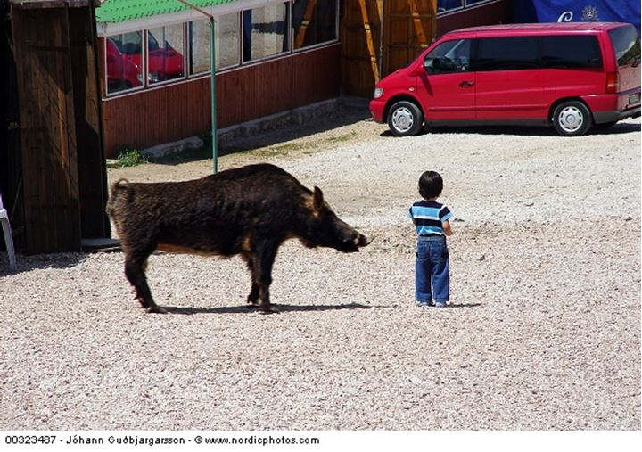 A wild boar and a child