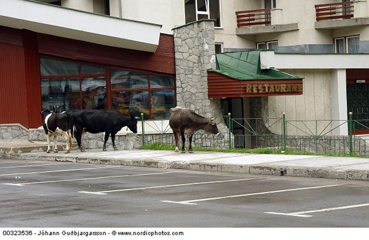 Cows by a restaurant