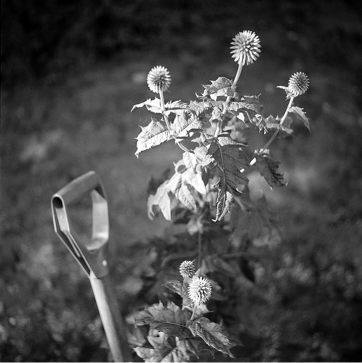 Mild thistle and a shovel