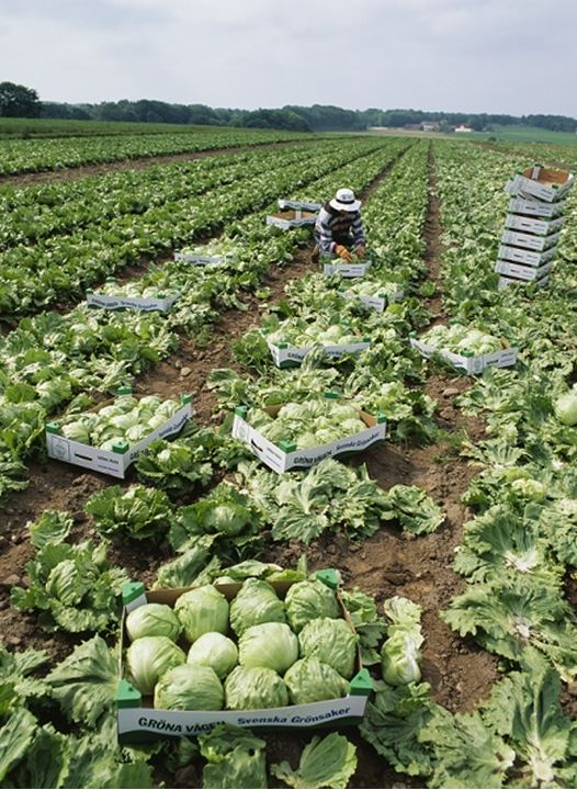 A person harvesting and packaging cabbages in the field