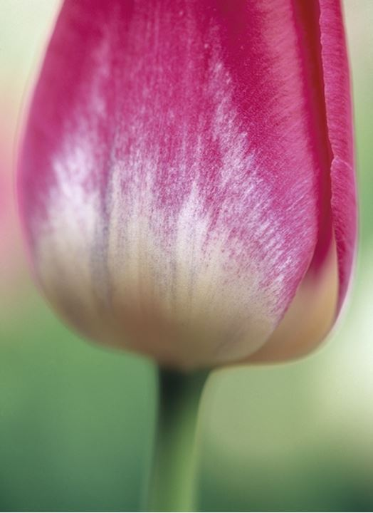 A close up of a tulip