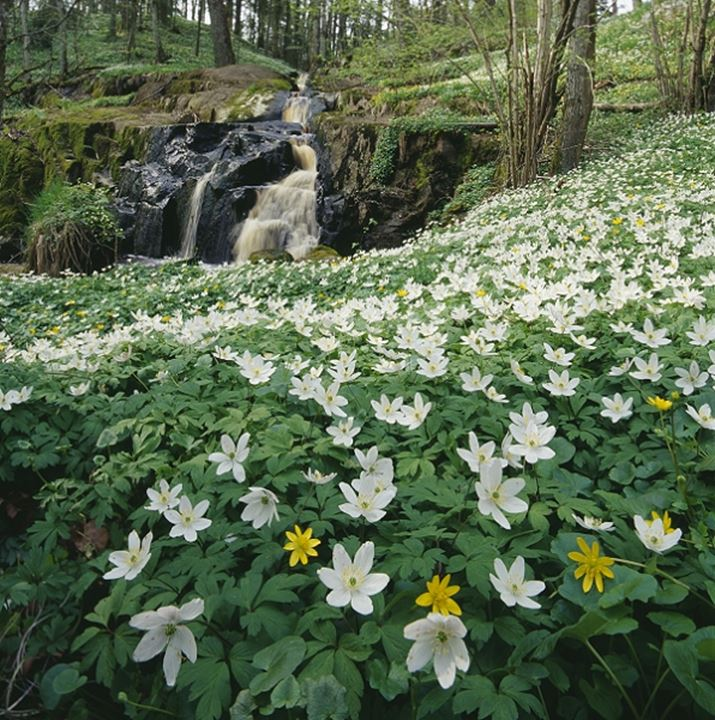 Wood Anemone (Anemone nemorosa) flowers in a forest