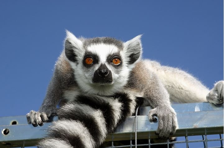 Low angle view of a lemur looking at the camera