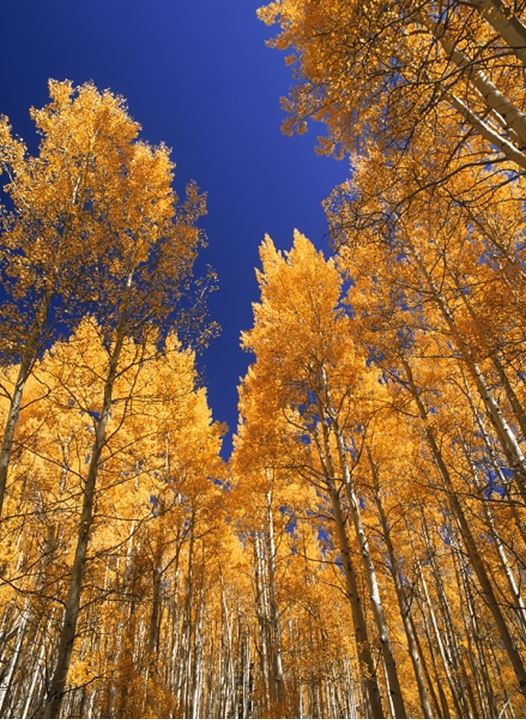 Birches with yellow autumn leaf