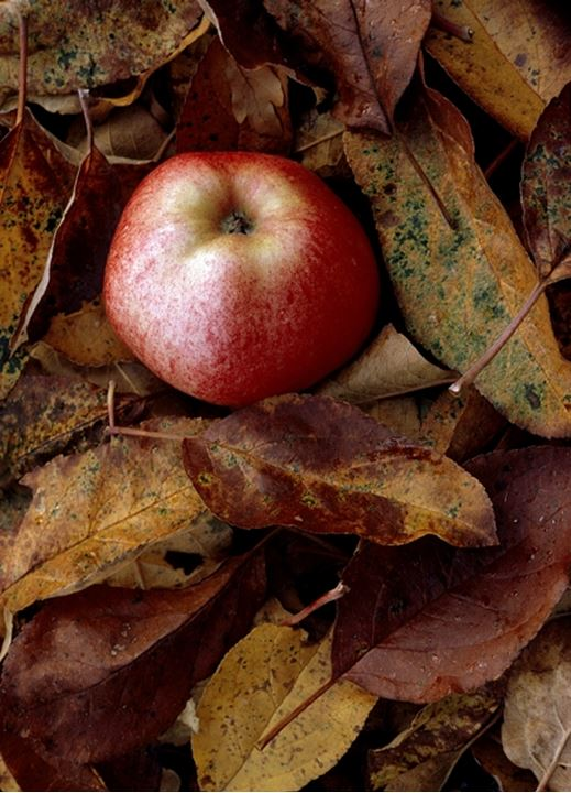 An apple in a bed of autumn leaves