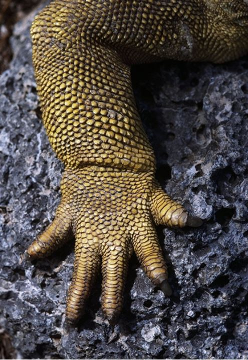 Close-up of a claw of an alligator