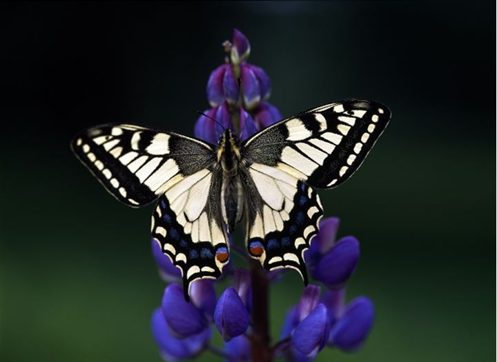Close-up of a Swallowtail Butterfly (Papilio machaon) on flower