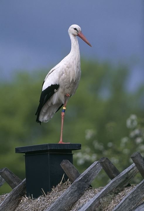 Stork on a roof, Skane (Skåne), Sweden