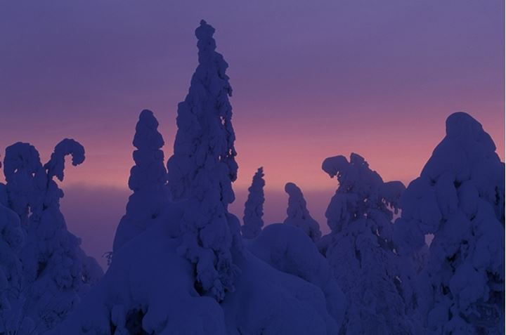 Silhouettes of snow covered trees in dusk, Norrland, Sweden