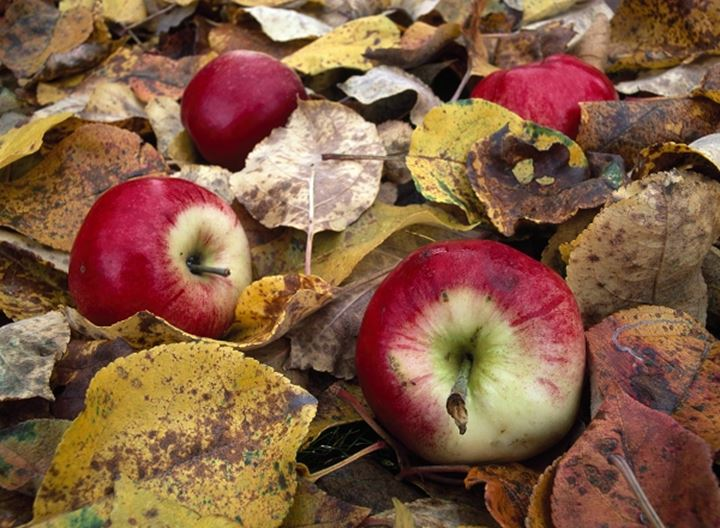 Apples in autumn leaves, Sweden.