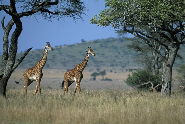 Giraffes in nature, Africa