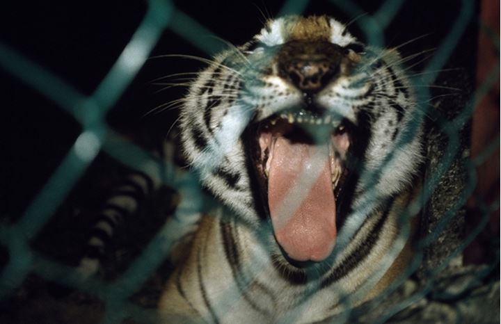 Close-up of a tiger (Panthera tigris) in a cage