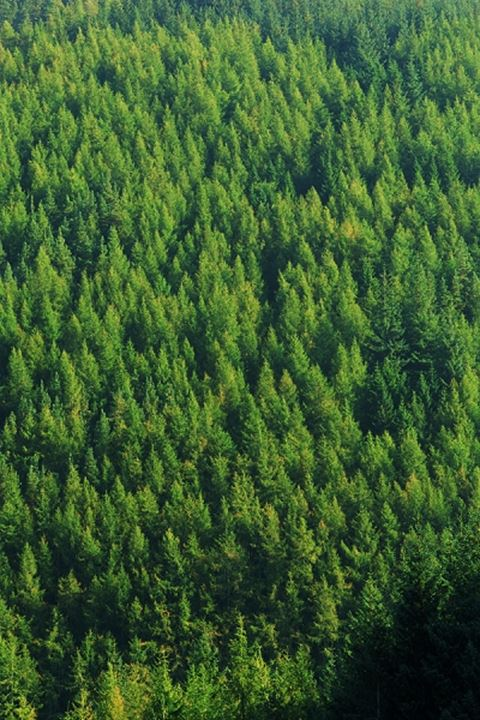 Evergreen trees of conifer forest in Washington