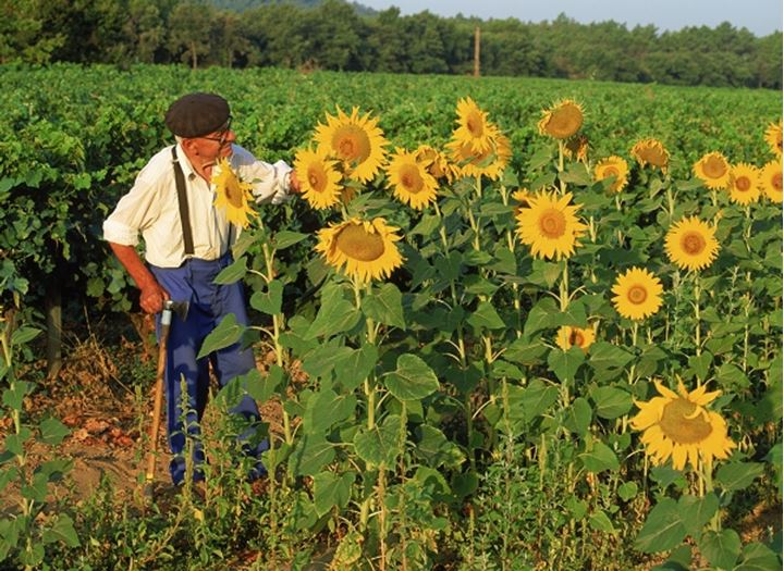 Elderly farmer in his field of sunflowers in Provence France