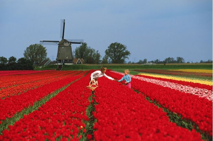 Mother and daughter in field of red tulips in Holland with windmill