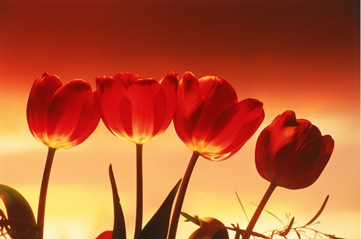 Red tulips highlighted under sunset skies