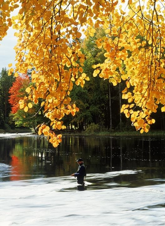 Fly fisherman standing in Dal River amid autumn colors in Sweden