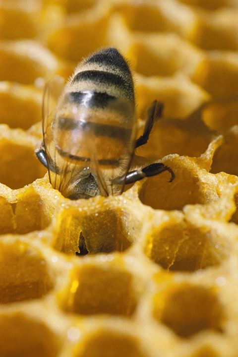 A busy bee in a honeycomb