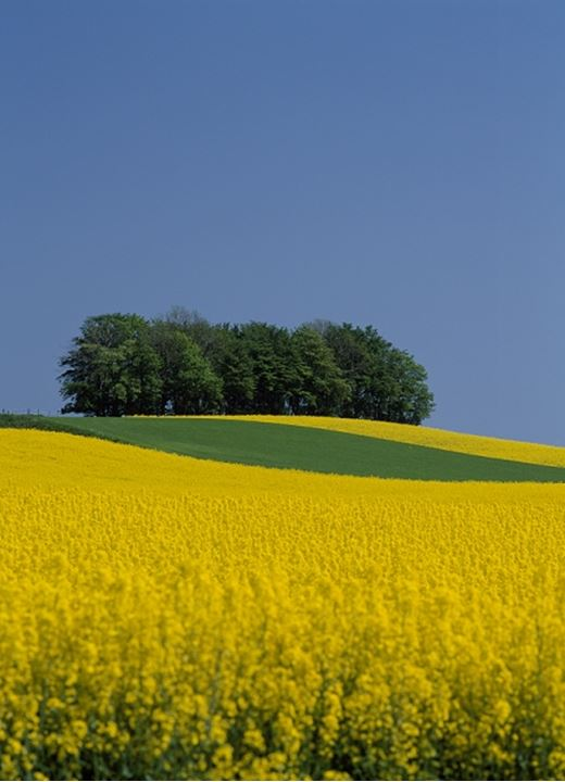 Yellow and green field. Scania, Sweden