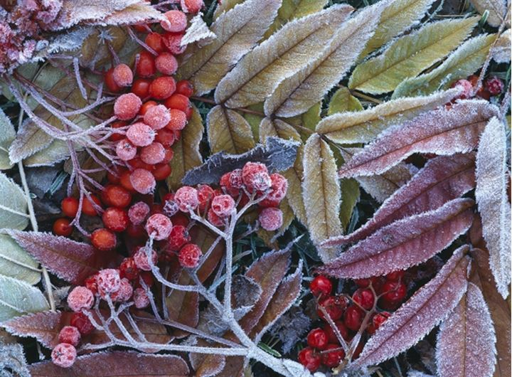 Icy rowan berries and leaves