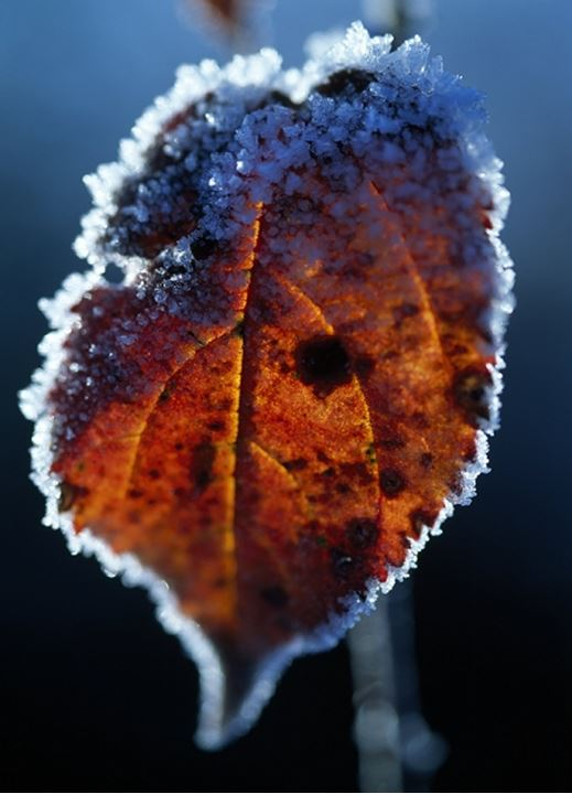 Close-up of an autumn leaf with frost