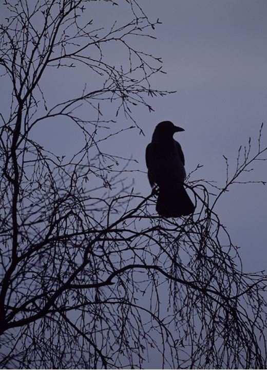Crow perching on a tree