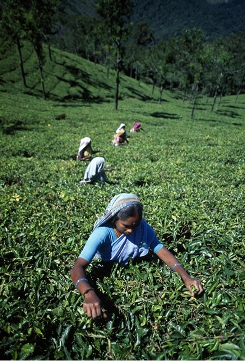 High angle view of a group of women picking tea leaves in a field, India