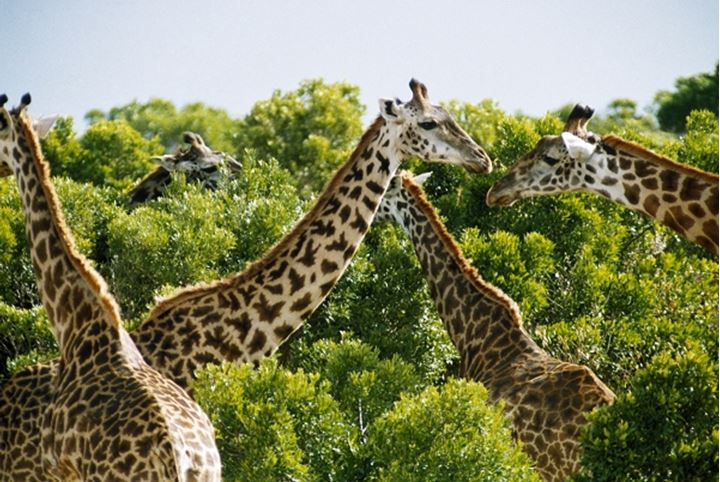 Group of giraffes in a forest, Kenya