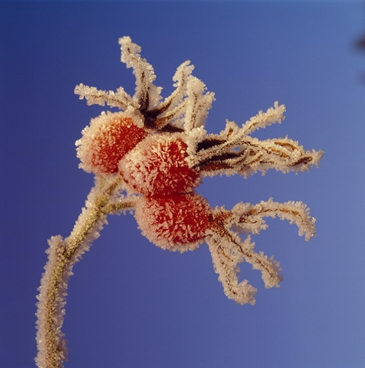 Close-up of a Nypon plant