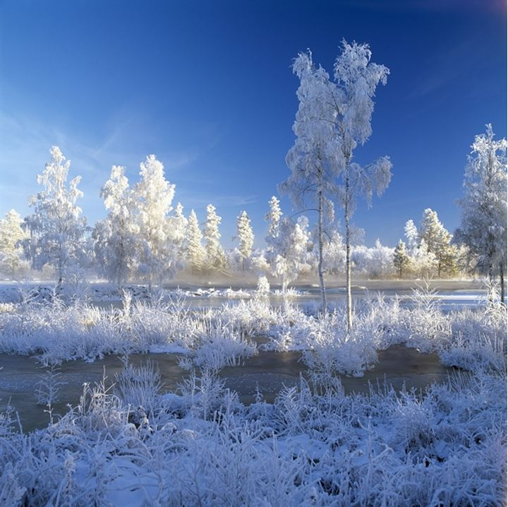 Trees and plants covered with snow in a forest, Dalarna, Sweden