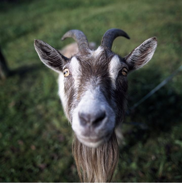 Close-up of a goat in a field