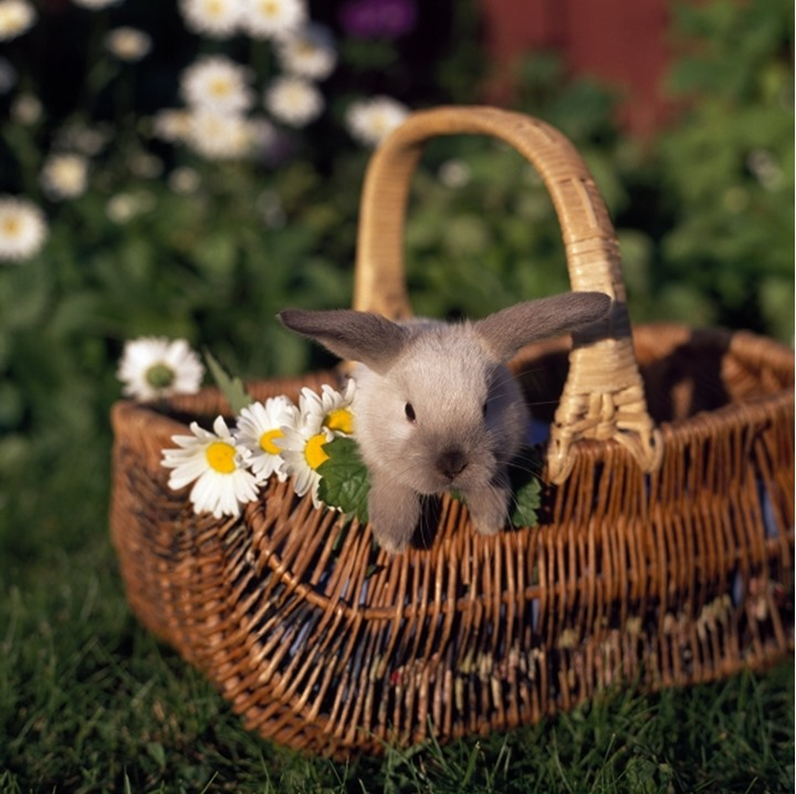 Close-up of a rabbit in a basket