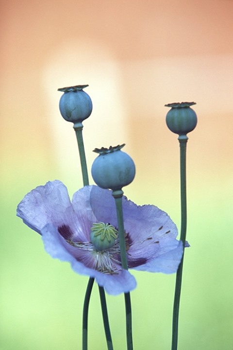 Close-up of a Poppy flower with its buds