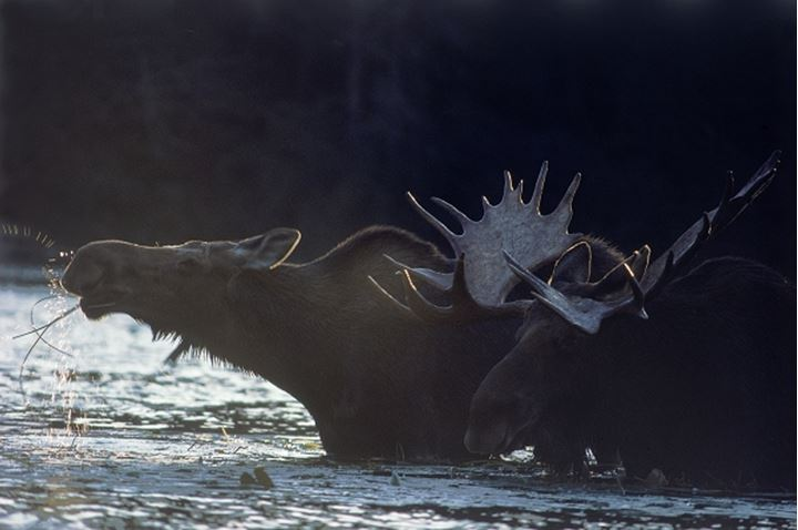 Bull moose and cow feeding in river at sunset in Maine