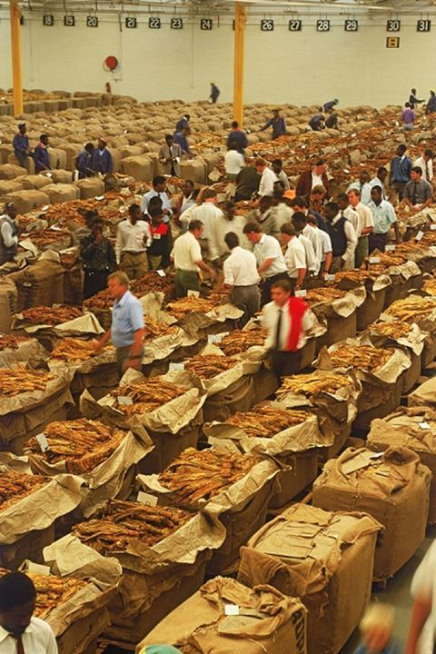 Tobacco auction house floor in Zimbabwe with tobacco bales and buyers