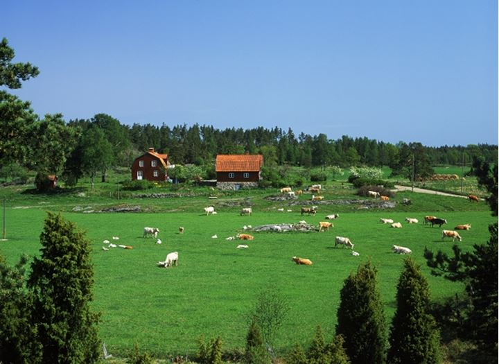 Cows grazing on farm with typical red house in Oster Gotland Sweden