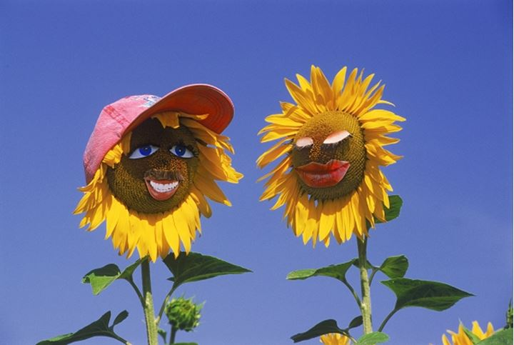 Happy couple of sunflowers on holiday in France
