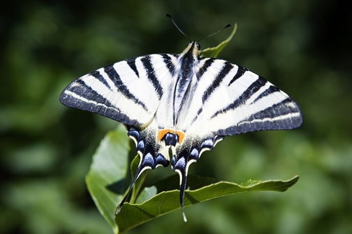 Close-up view of a butterfly perching on the leaves. Italy.